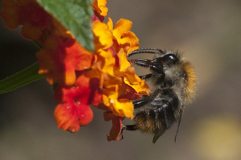 Pelzbiene auf Wandelröschen - Botanischer Garten © Anke Steffens