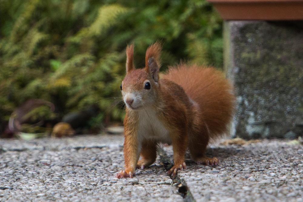 Eichhörnchen im Anmarsch - Garten an der Rosenhöhe © Anke Steffens