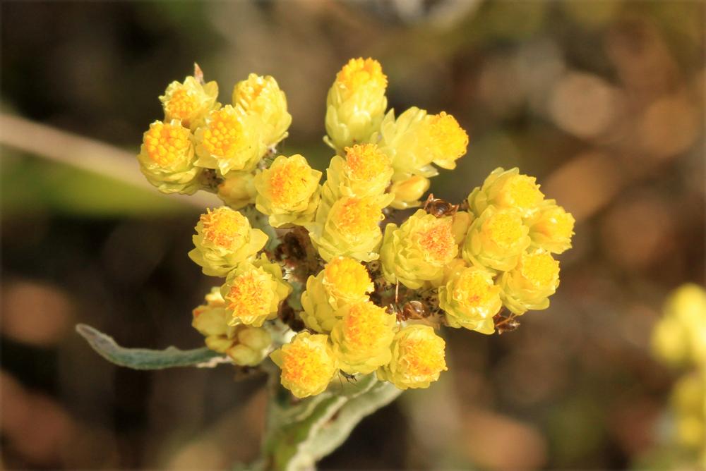 Sandstrohblume mit Ameisen