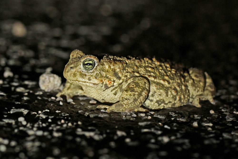 Nachts ist die Kreuzkröte unterwegs.