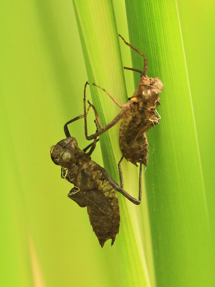 Exuvien - Hüllen der Libellenlarven