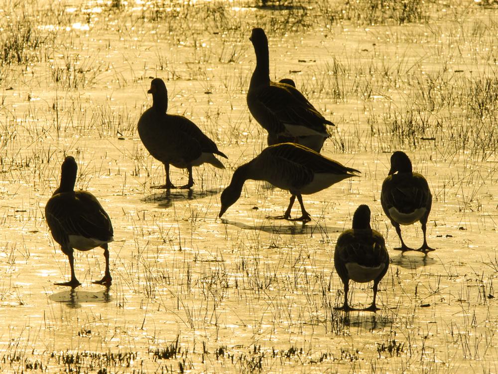 Graugänse im Gegenlicht - Reinheimer Teich © Gerhard Schweigert