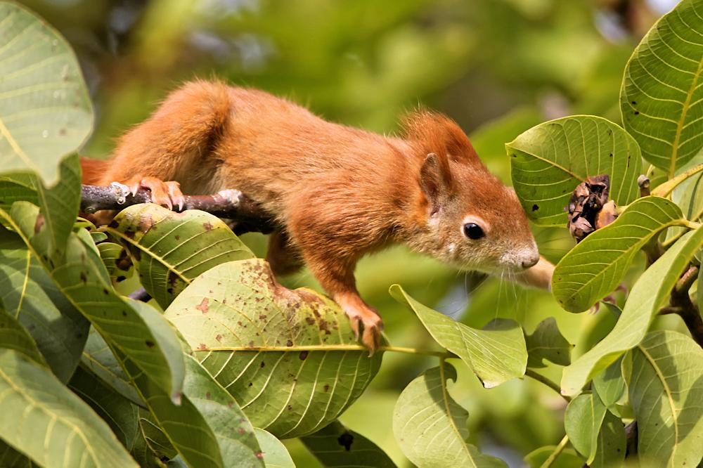 Eichhörnchen bei der Walnussernte - DA-Heimstättensiedlung © Jürgen Landshoeft
