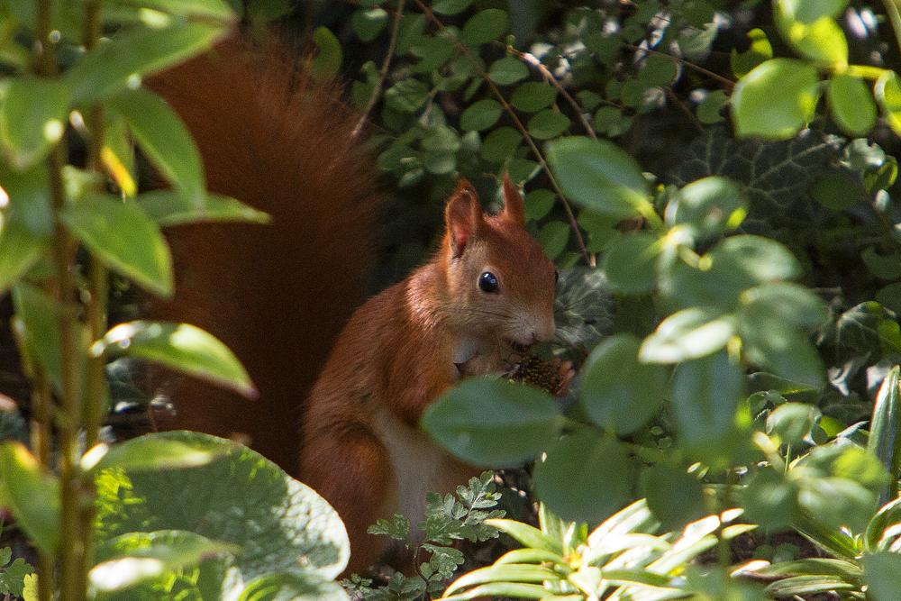 Eichhörnchen im Blumenbeet - Garten an der Rosenhöhe © Anke Steffens