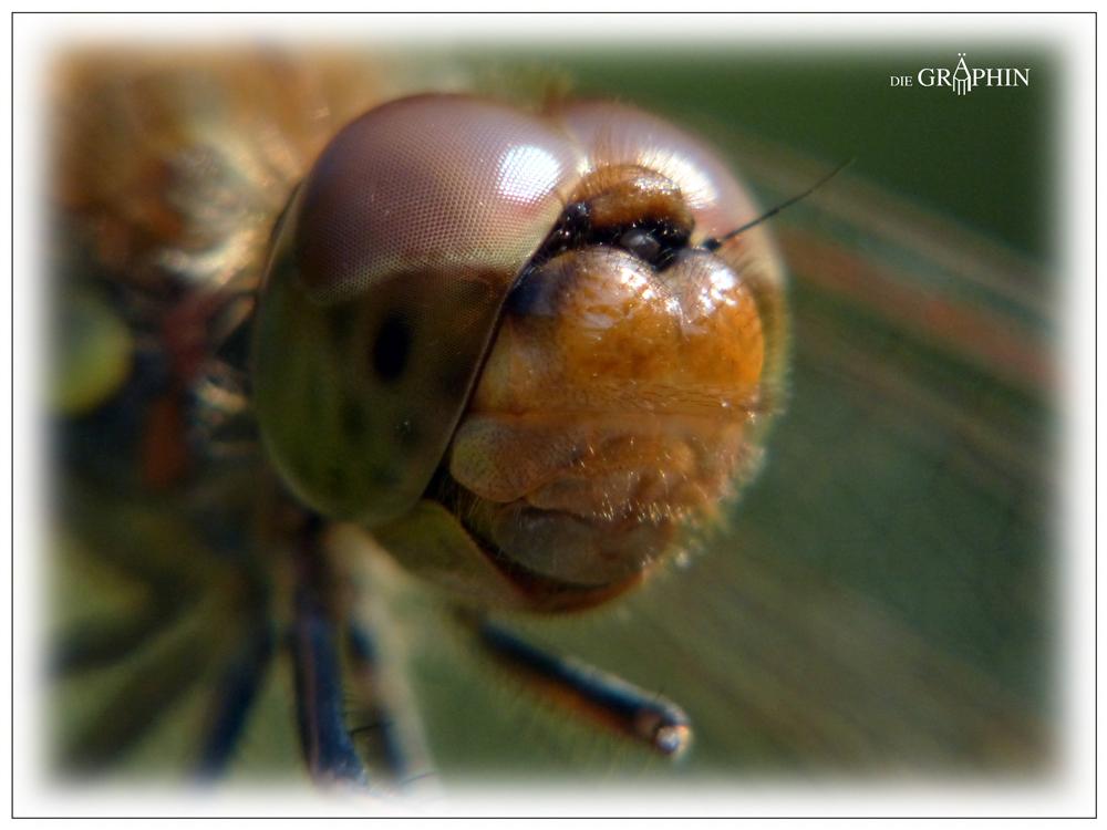 Kopf der Heidelibelle - Botanischer Garten DA © Jennie Bödeker