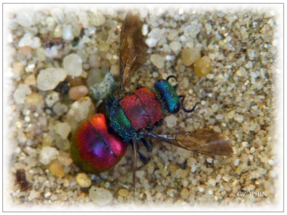 Goldwespe im Ameisenlöwen-Trichter - Botanischer Garten DA © Jennie Bödeker