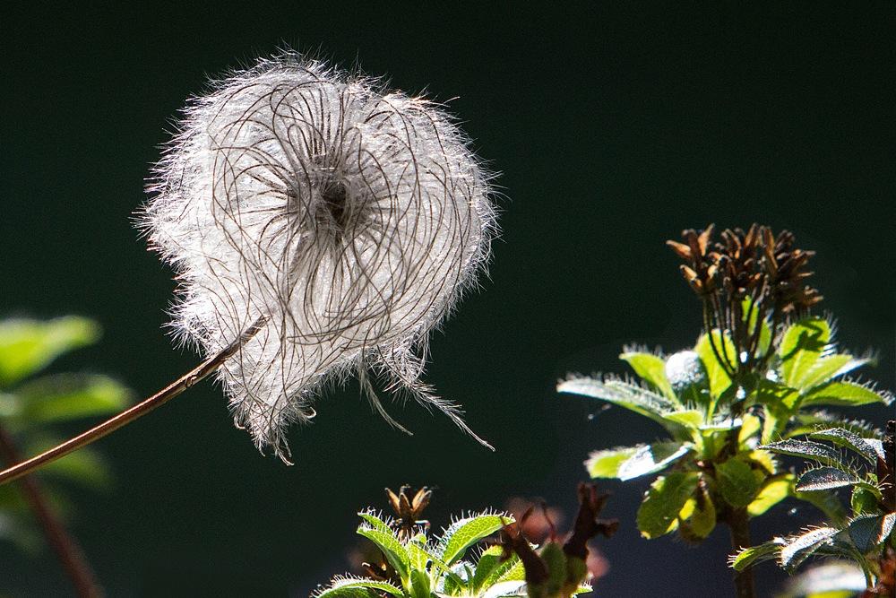 Behaarte Alpenrose - Botanischer Garten © Anke Steffens