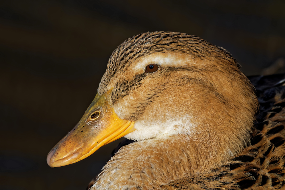 Hybride Ente ♀- Steinbrücker Teich © Jürgen Landshoeft