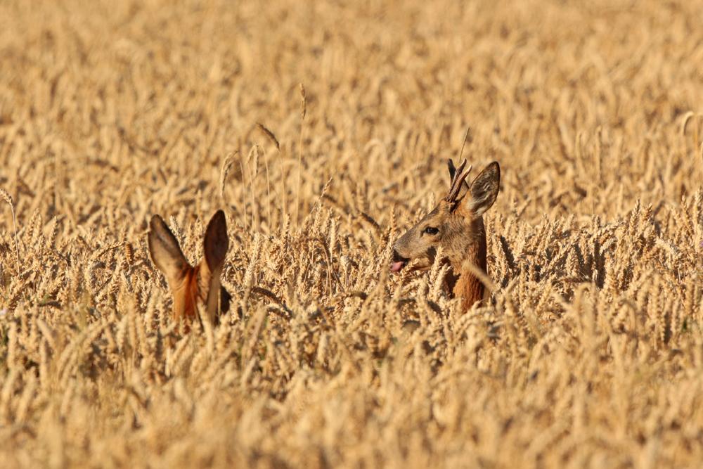 Reh-Paar mitten im Weizenfeld - Gemarkung Messel © Hans Günter Abt