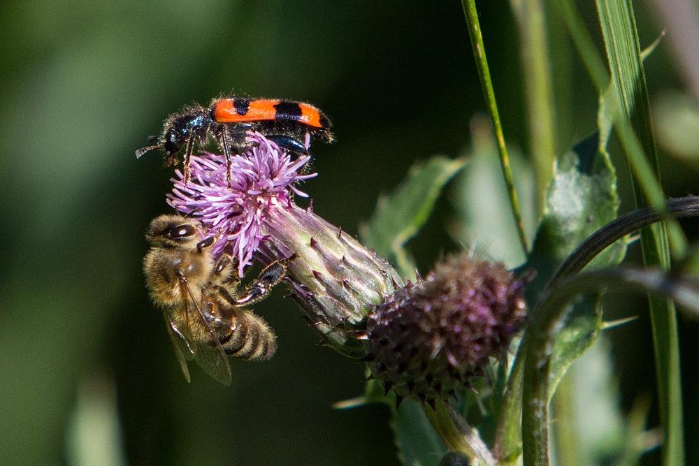 Honigbiene und Bienenkäfer - Botanischer Garten © Anke Steffens
