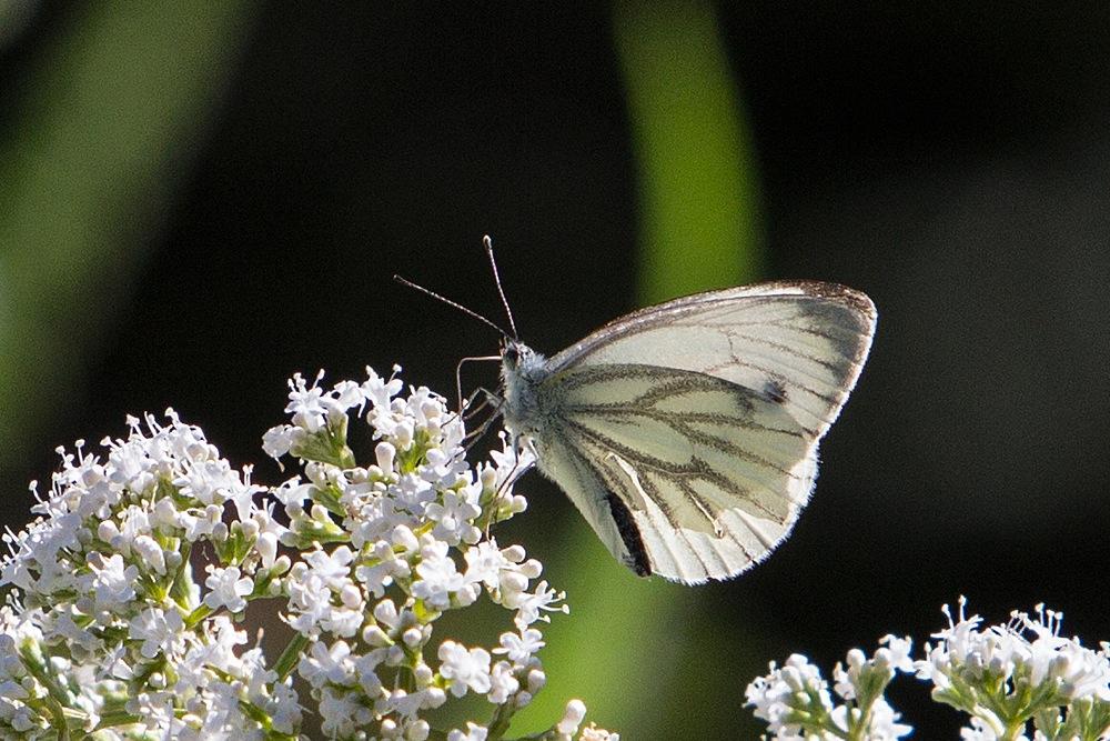 Grünader-Weißling - Botanischer Garten © Anke Steffens
