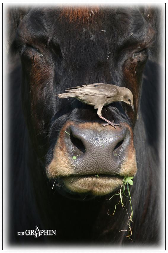 Kuh mit Stargast - Reinheimer Teich © Jennie Bödeker