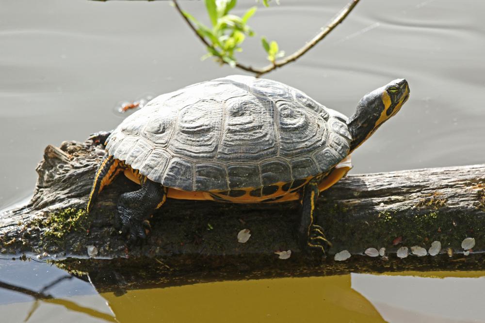 Erwachte Schmuckschildkröte am Nordufer