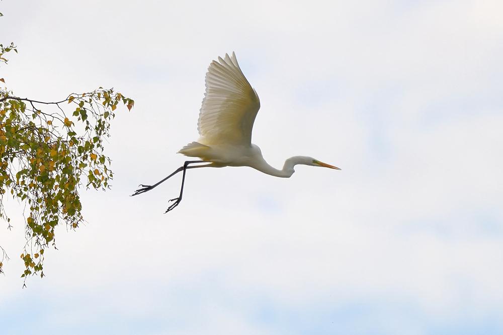 Abflug des Silberreihers - Reinheimer Teich © Jürgen Landshoeft