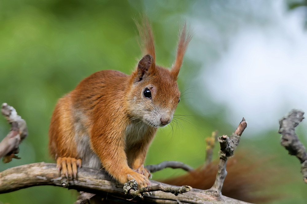 Eichhörnchen - Garten in der Heimstättensiedlung © Jürgen Landshoeft