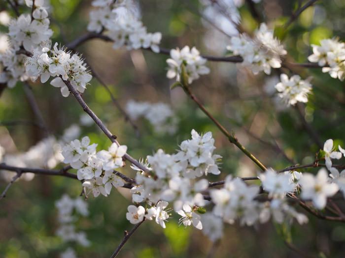 Blüte der wilden Zwetschke
