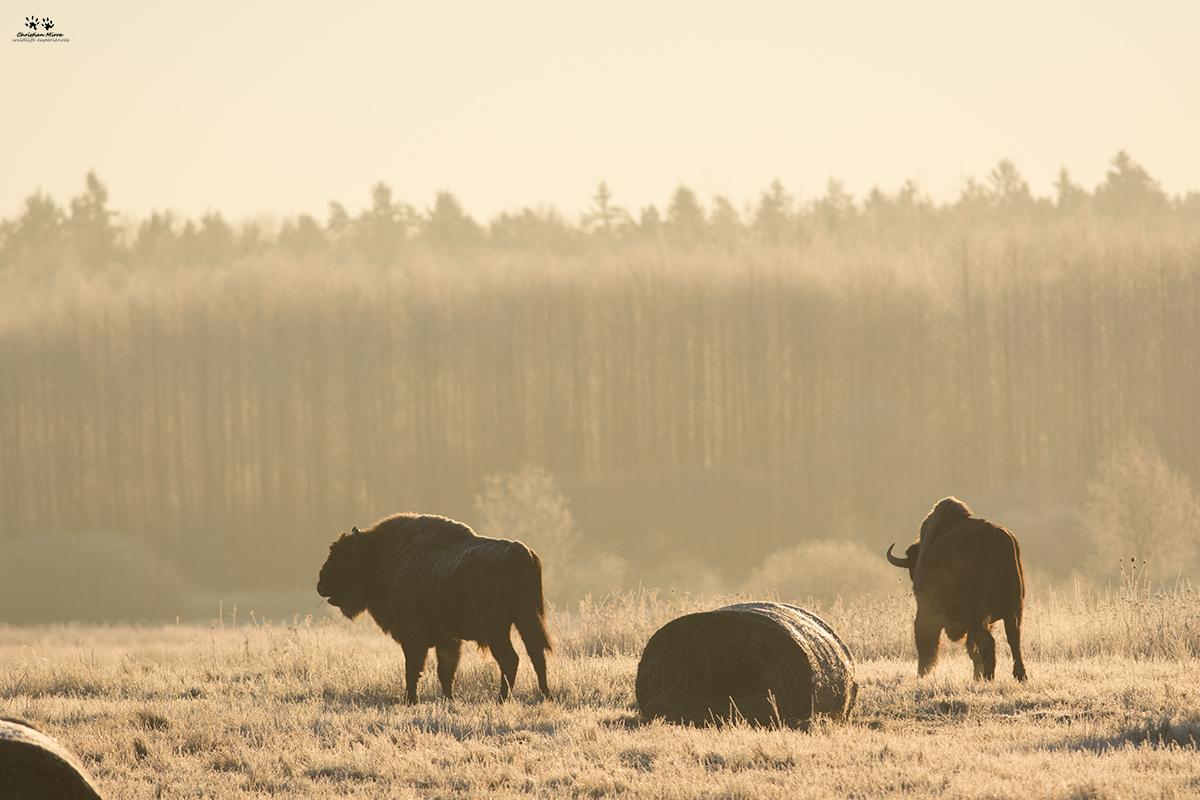 Bisonte europeo (Bison bonasus)