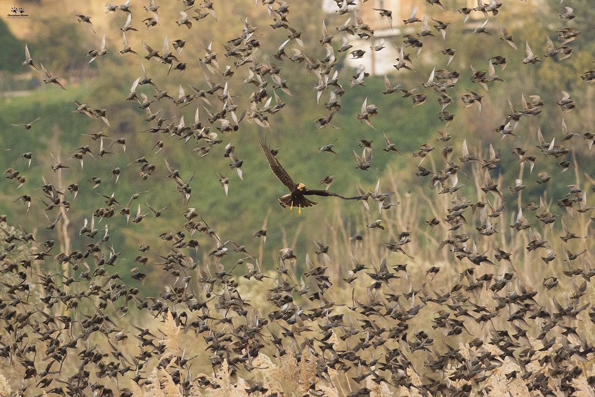 Falco di palude (Circus aeruginosus) e storni (sturnus vulgaris)
