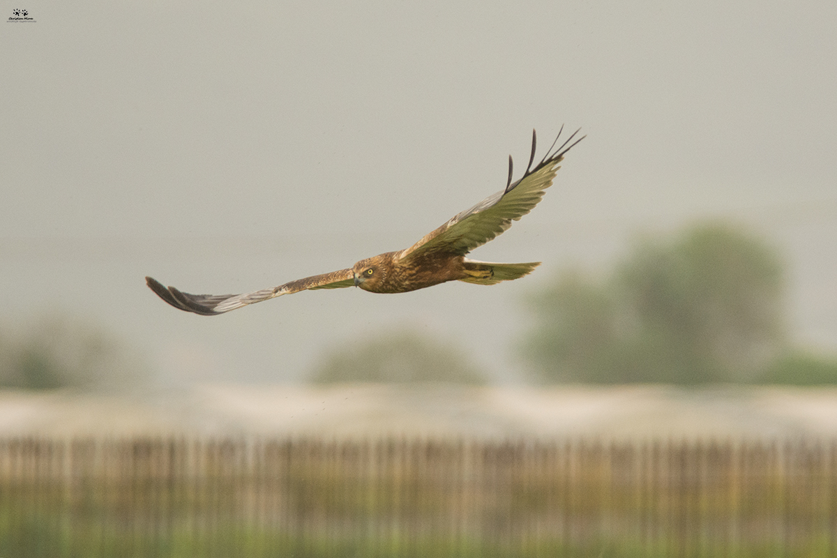 Falco di palude maschio (Circus aeruginosus)