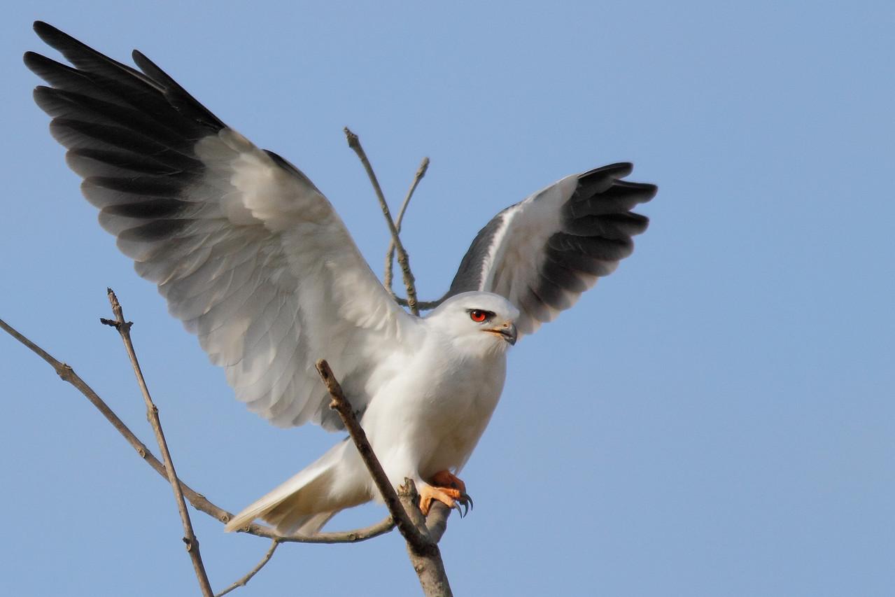 Elanion blanc (Elanus caerulus)