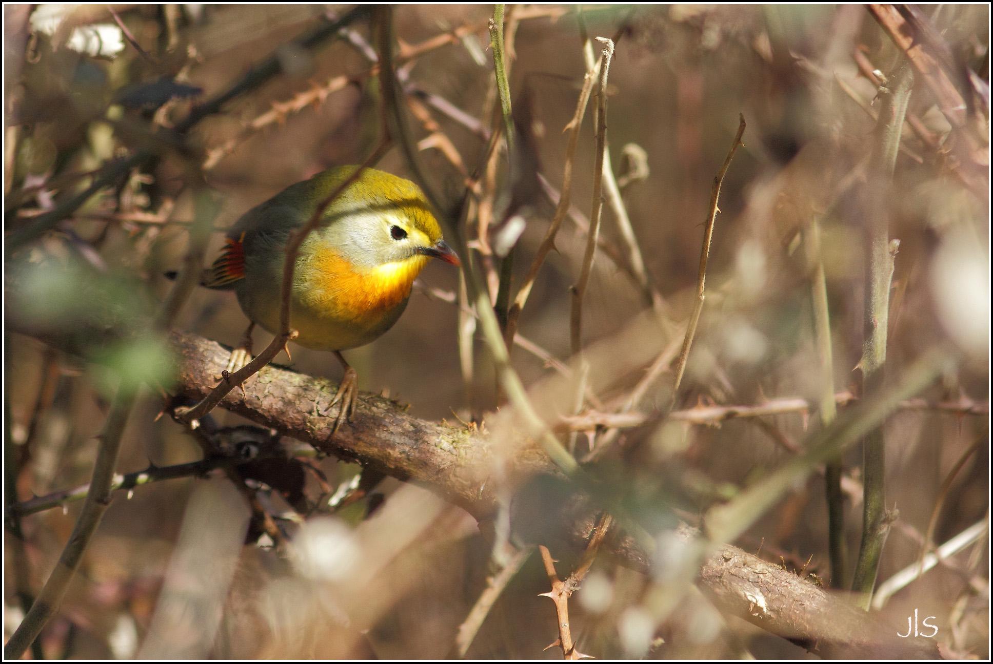Léiothrix jaune ou Rossignol du Japon©JLS