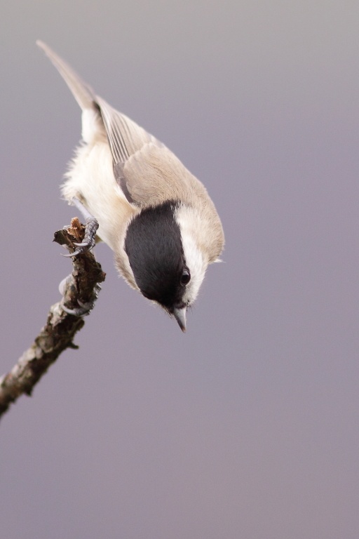 MESANGE NONNETTE (Poecile palustris) © JlS