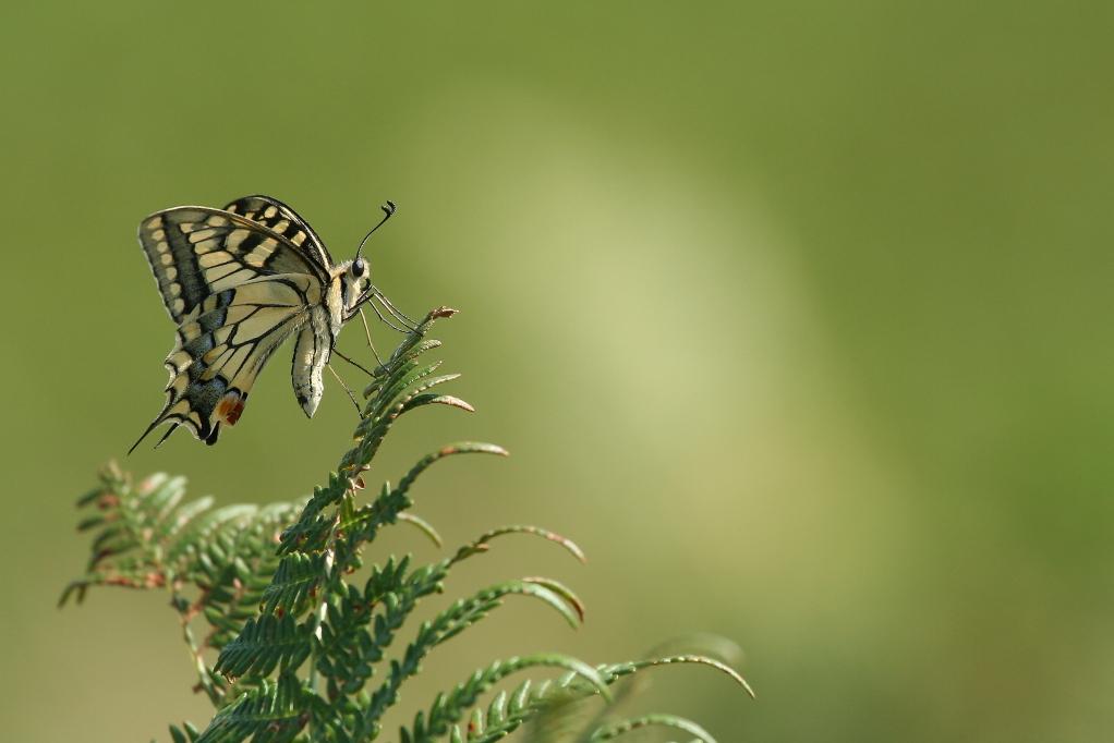 MACHAON (Papilio machaon) © JlS
