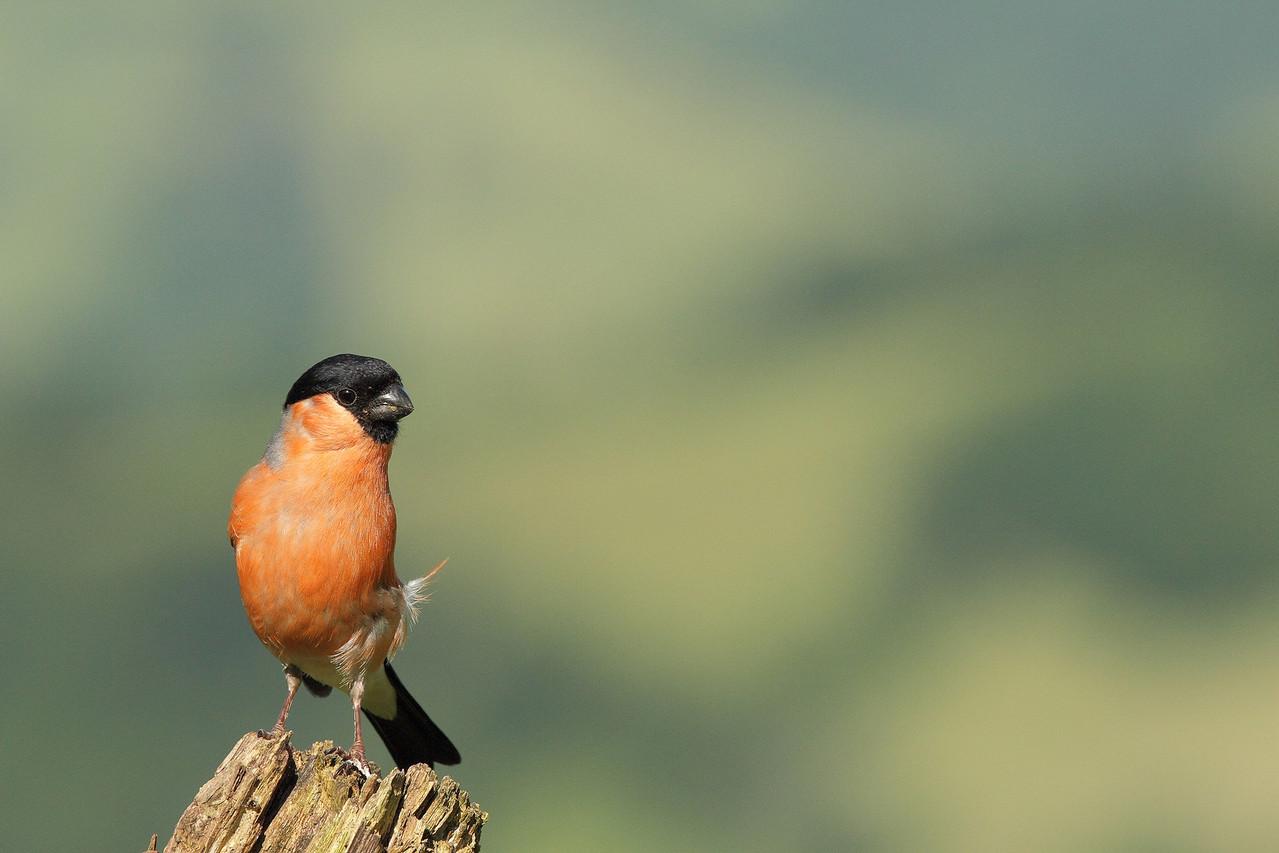 Bouvreuil pivoine mâle (Pyrrhula pyrrhula)