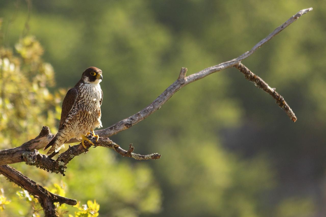Faucon pèlerin ( Falco peregrinus )