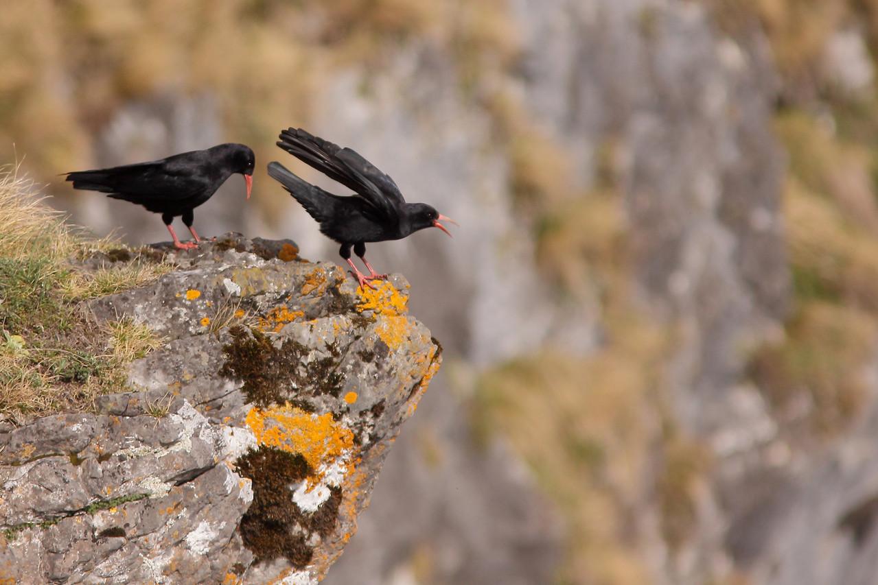 Crave à bec rouge (Pyrrhocorax pyrrhocorax)