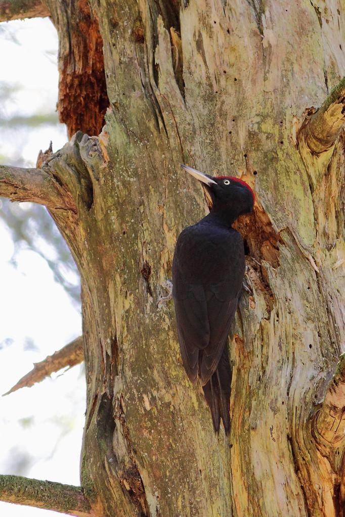 Pic noir  ( Dryocopus martius )