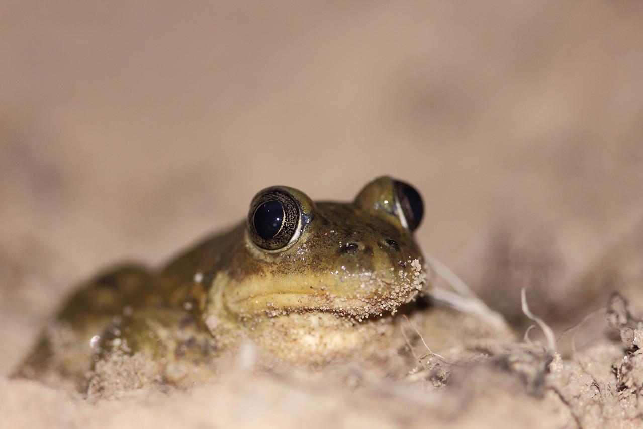 Pélobate cultripède (Pelobates cultripes)