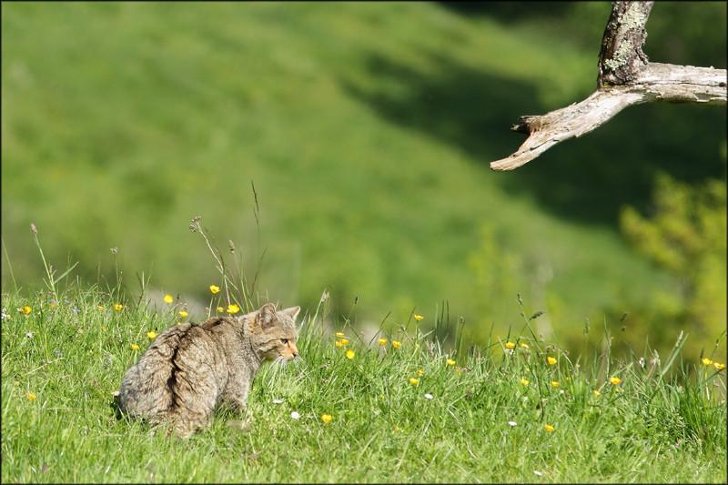 Chat forestier (Felis silvestris silvestris)