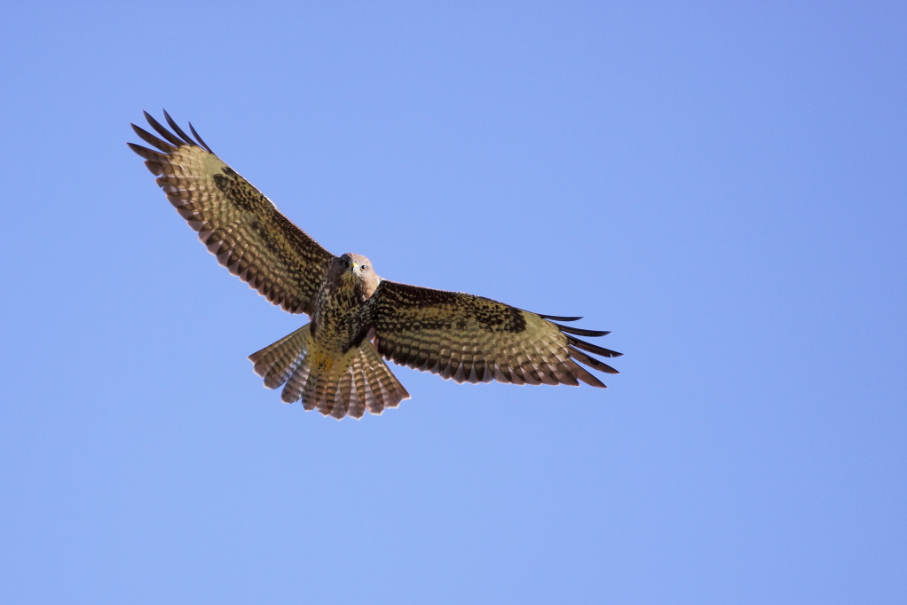 BUSE VARIABLE (Buteo buteo) © JlS
