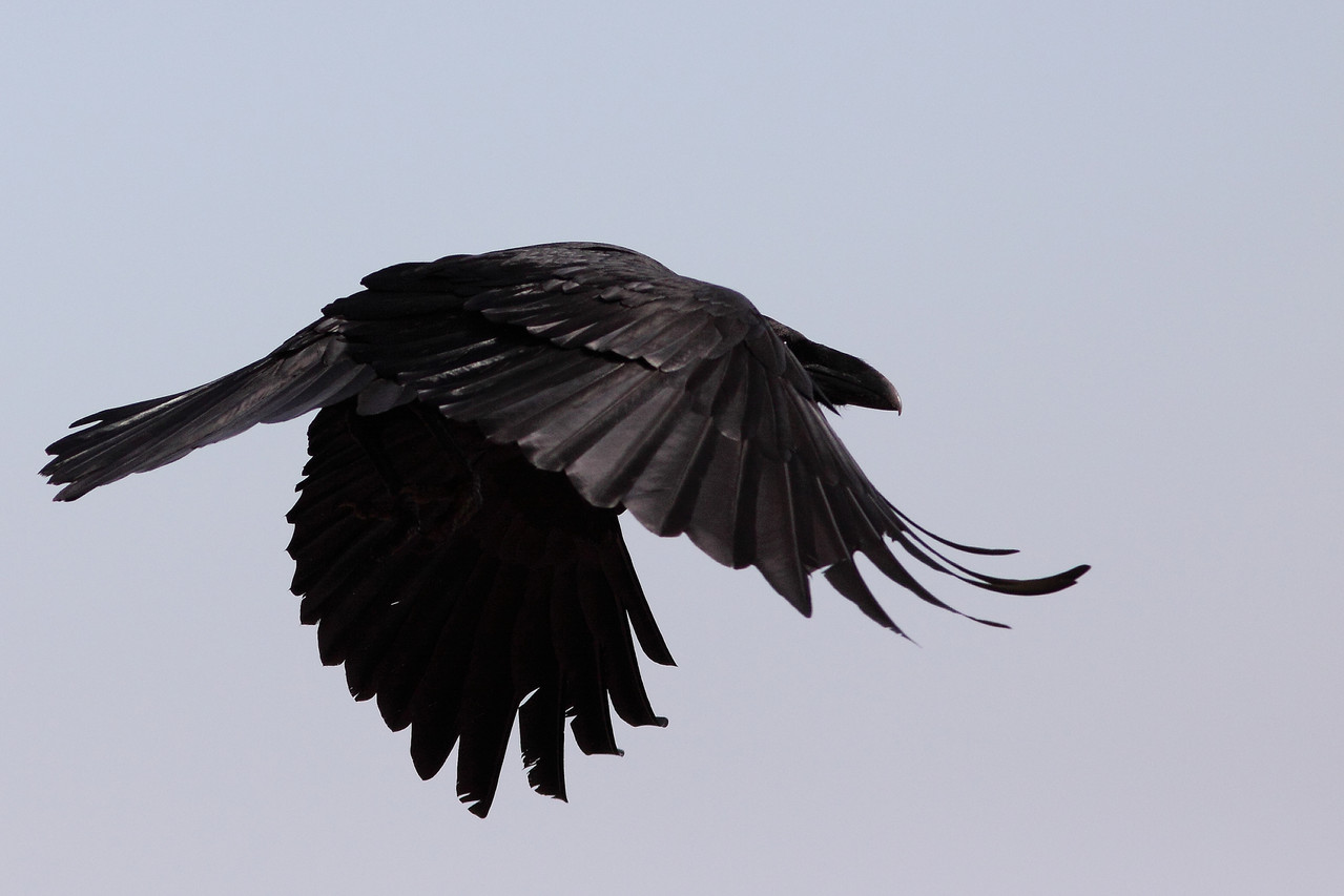 Grand Corbeau ( Corvus corax )