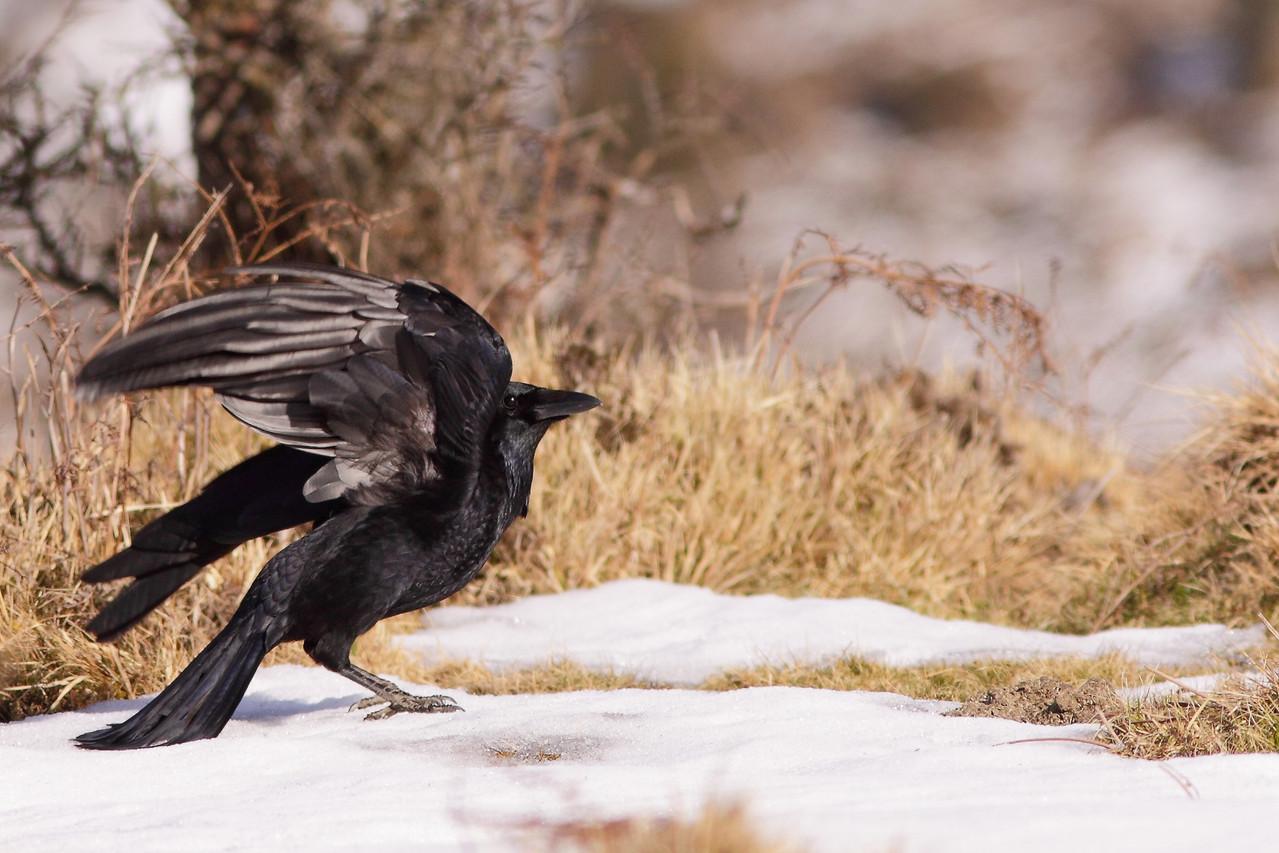 Corneille noire ( Corvus corone )