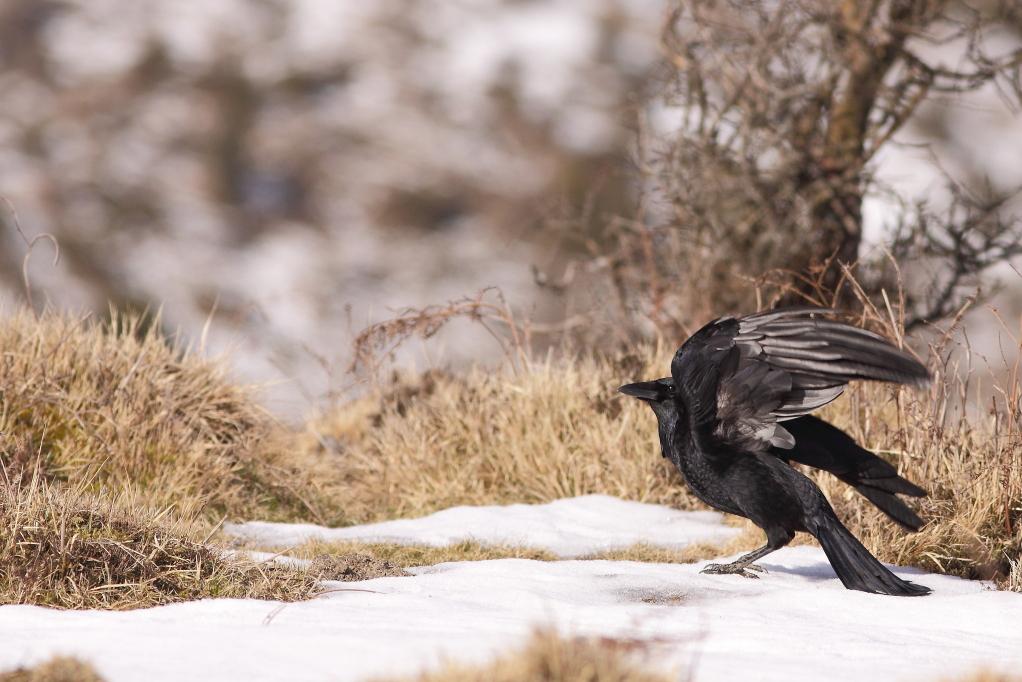 CORNEILLE NOIRE (Corvus corone) © JlS