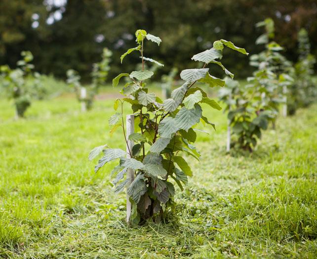 Klimawandel veraendert Trueffelanbau mit Trueffelbaeumen