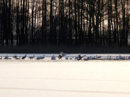 Schwäne rasten im Winter auf dem Ruppiner See (Foto: Wehr)