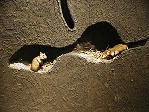Wilde hamsters ter adoptie dikke laag bodembedekking het knaagtandje informatie basisinfo info adopteren ter adoptie