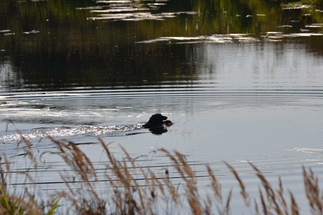 Idylle - Linus vom Lachsenbach, ein schöner Hund mit erstklassiger Arbeit