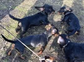 Spaß beim Herumtollen haben die Teckel vor Beginn des Begleithundetrainings auf dem Hundeplatz in Flechtingen.