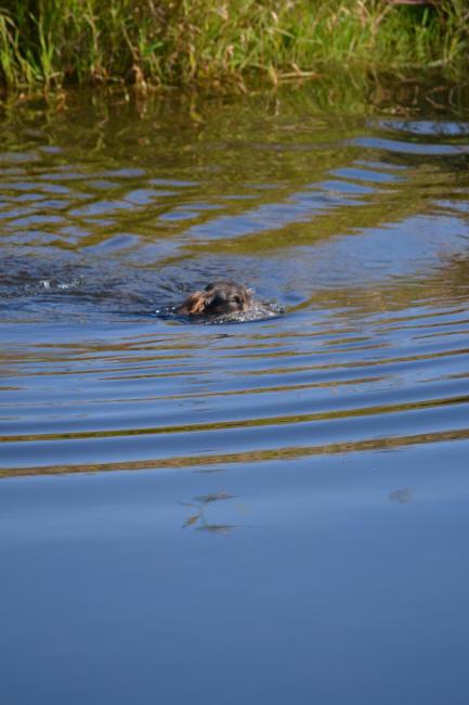 Ist das ein Dackel oder ein Krokodil? Das ist Mick vom Tangergrund, Krokodile machen keine Wellen!