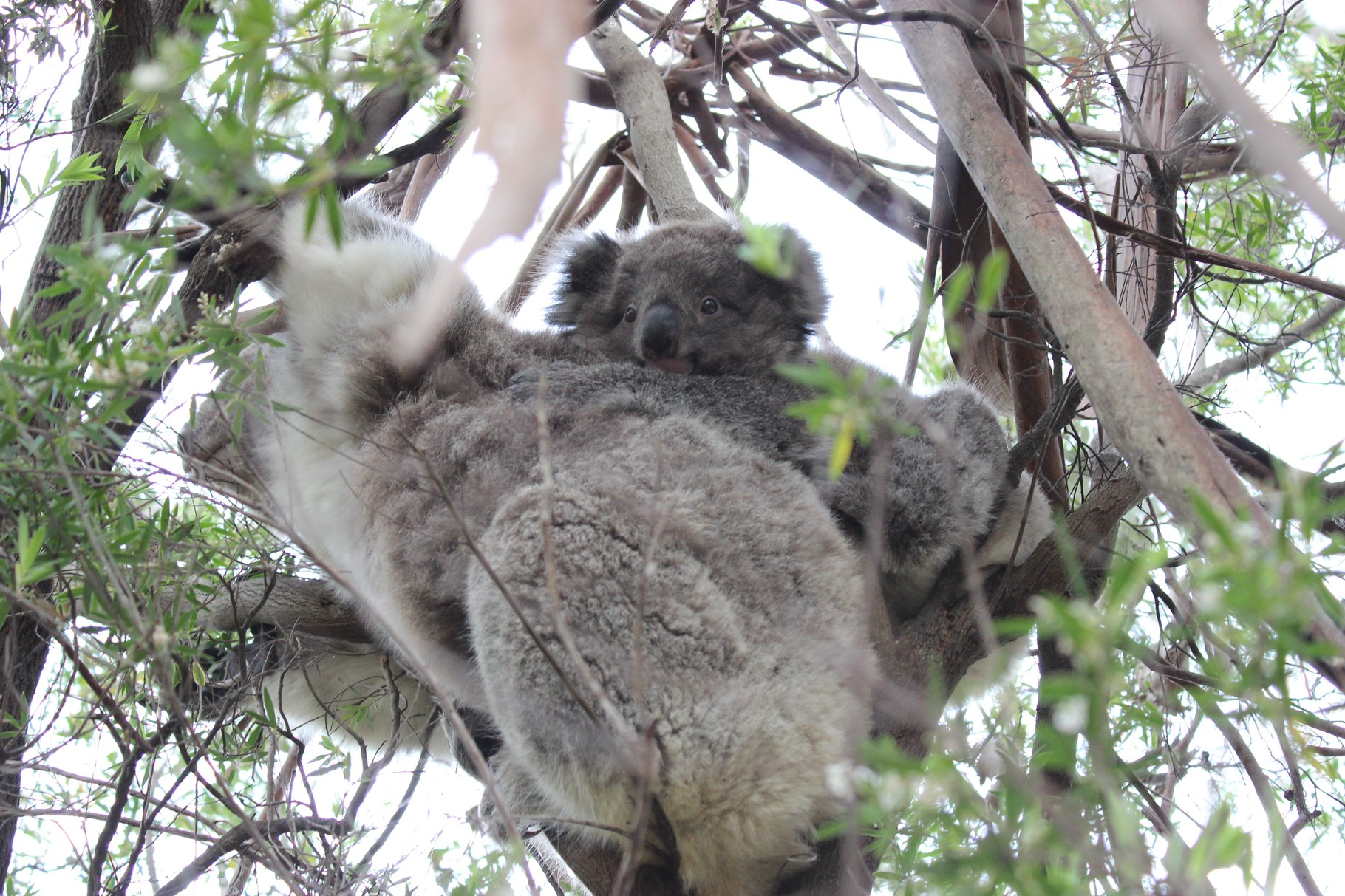 Great Ocean Road, Koala Mama und Baby