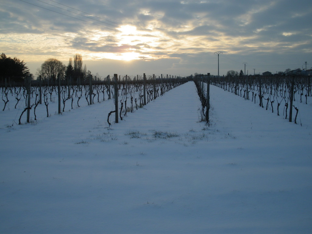 Vineyard of Domaine Pautier