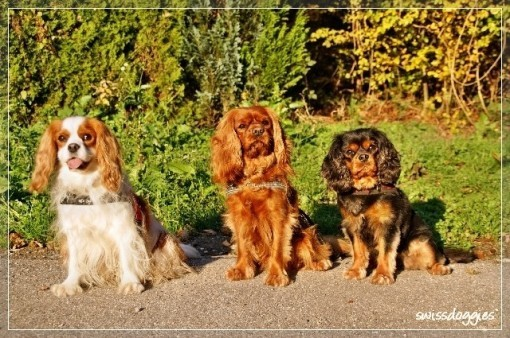 Okt. 09: Treffen mit Sandra und ihren Cavis Jessy & Sancho