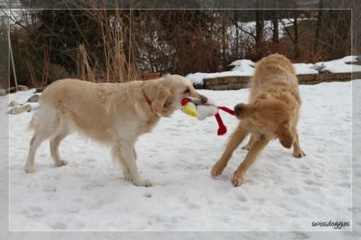 09.02.2010: Roxy's Freundin Joya war zu Besuch...was sich liebt, das neckt sich... ob Roxy's Huhn das überlebt hat?