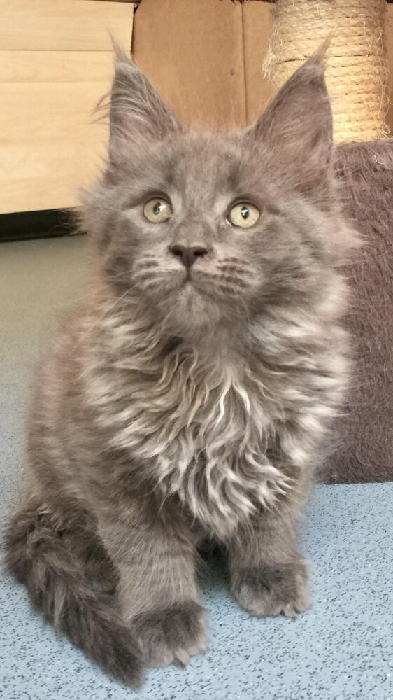 'Louis' alias Flash - kitten von Charming Lulu