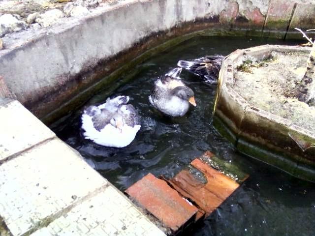Baño en el estanque - Bain au bassin