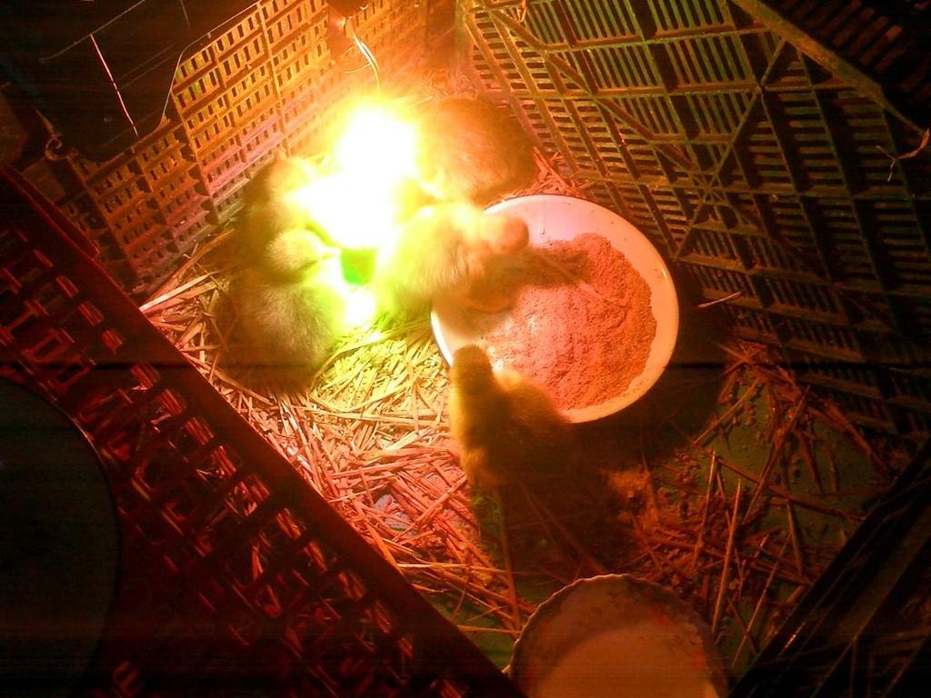 Ocas en la criadora - Oies dans la couveuse